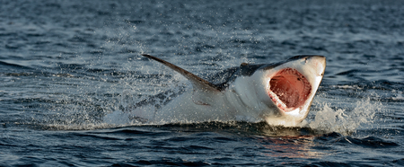 great danger: Hunting of a Great White Shark (Carcharodon carcharias). South Africa