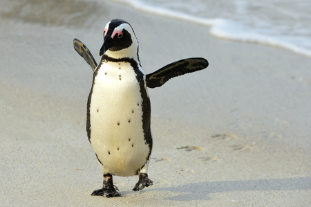Walking African penguin (spheniscus demersus)with footprints  at the Beach. South Africa