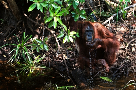 The orangutan drinks water. Orangutan drinks water from the river, scooping a palm. photo