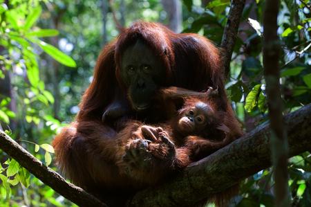 Mother and Baby orangutan (Pongo pygmaeus) swinging in tree .  Borneo, Indonesia. photo