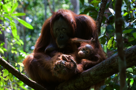 Mother and Baby orangutan (Pongo pygmaeus) swinging in tree .  Borneo, Indonesia. photo