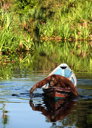 utang: Borneo the pirate. The orangutan floats in a boat, rowing with hands, as oars. Borneo, Indonesia. Stock Photo