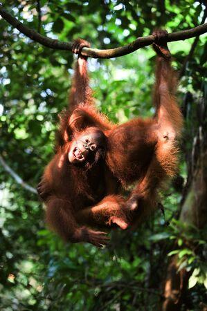 Baby orangutan (Pongo pygmaeus) swinging in tree .  Borneo, Indonesia. photo