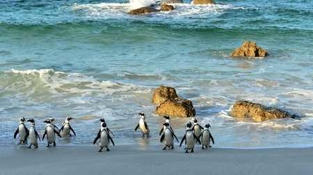 penguins on beach: Walking  African penguins (spheniscus demersus) at the Beach. South Africa