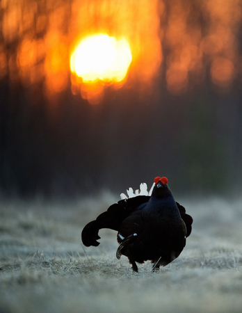Sunrise Backlight Portrait of a Gorgeous lekking black grouse (Tetrao tetrix). (Lyrurus tetrix) early in the morning