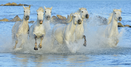 horse jump: White horses of Camargue running through water. France