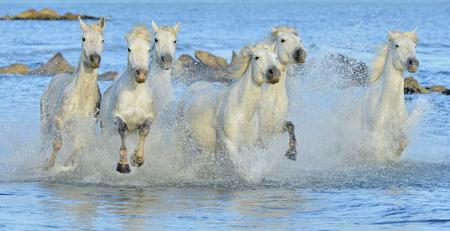 Witte paarden van Camargue die door water. Frankrijk Stockfoto
