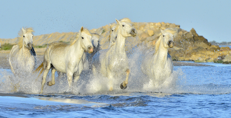 camargue: White horses of Camargue running through water. France