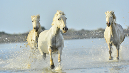 White horses of Camargue running through water. France photo