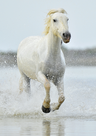 White horse of Camargue running through water. France photo