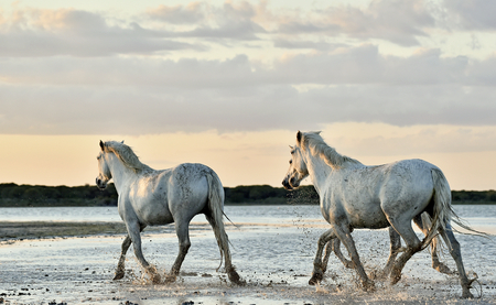 camargue: Herd of White Camargue horses run on water of the sea. France.