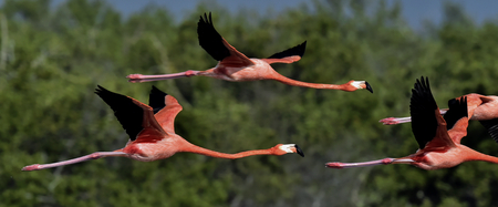 aviary: Flying Caribbean flamingos (Phoenicopterus ruber) against a natural background. Cuba.Zapata