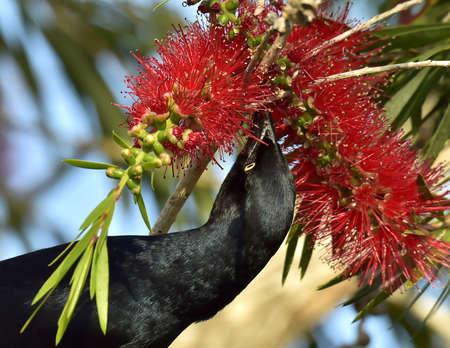 la boca: The Greater Antillean grackle (Quiscalus niger) perched on branch at La Boca, Republic of Cuba in March