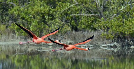 subtropics: Flying Caribbean flamingos (Phoenicopterus ruber) against a natural background. Cuba.Zapata