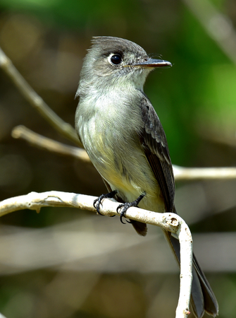 grey eyed: Crescent-eyed pewee or Cuban pewee (Contopus caribaeus) on the branch. Green natural background