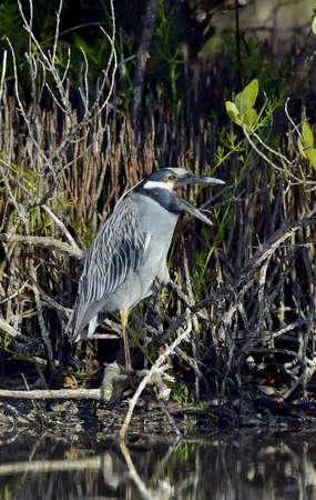 squawk: The yellow-crowned night heron (Nyctanassa violacea, formerly placed in the genus Nycticorax), also called the American night heron or squawk Stock Photo