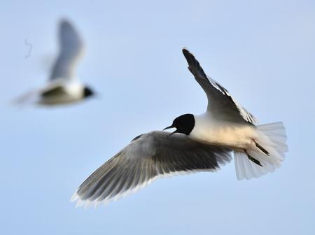 larus: Little Gull (Larus minutus) in flight on the blue sky  background.
