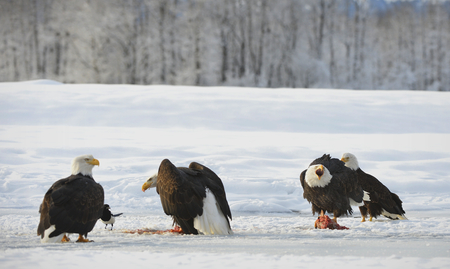 four species: The four Bald eagles  ( Haliaeetus leucocephalus ) sits on snow and eats a salmon.  Alaska