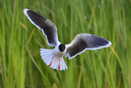 larus: The Little Gull Larus minutus in flight.  Stock Photo