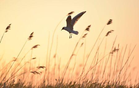 black headed: Silhouette of in Flight at sunset. A flying black headed gull. Backlight. gulls flying against yellow sunset background . Black-headed Gull (Larus ridibundus)