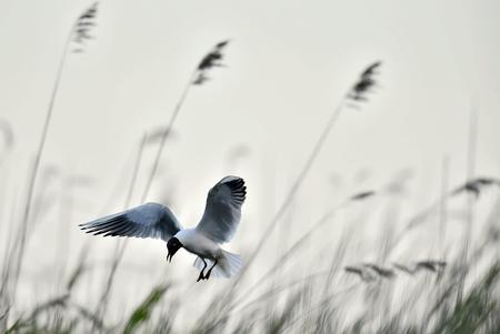 larus ridibundus: Black-headed Gull (Larus ridibundus) in flight on the sky background Stock Photo