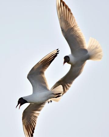 ridibundus: Black-headed Gull (Larus ridibundus) in flght on the sky background
