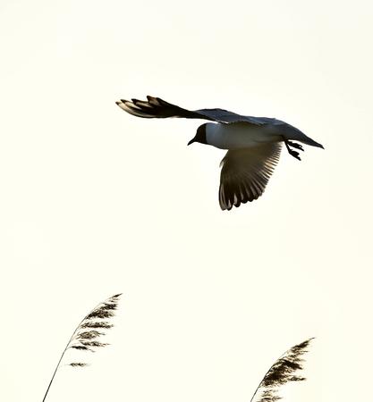 ridibundus: Black-headed Gull (Larus ridibundus) in flight on the sky background Stock Photo