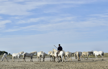 camargue: PROVENCE, FRANCE - MAY 07, 2015: The rider on a horse and White Camargue Horses in Parc Regional de Camargue