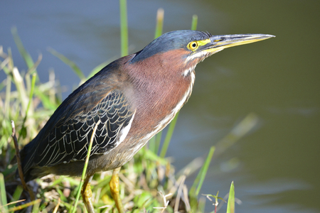 subspecies: Green Heron Butorides virescens male. Cuba. March