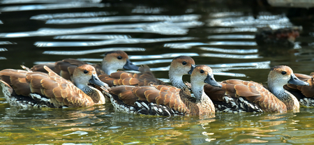 waterbird: Swimming Cuban or West Indian Whistling Duck (dendrocygna arborea)