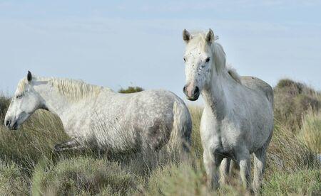 camargue: Portrait of the White Camargue Horse. Provance, France