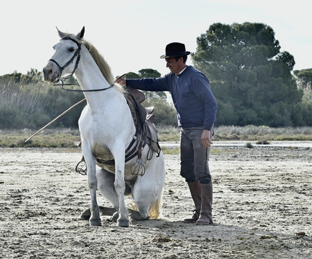 PROVENCE, FRANCE - MAY 07, 2015: Groom shows White Camargue Horse in the swamp nature reserve in Parc Regional de Camargue - Provence, France