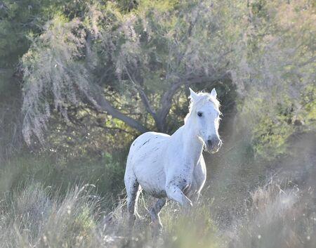caballo de mar: Retrato de la Camargue Caballo Blanco. Provance, Francia Foto de archivo