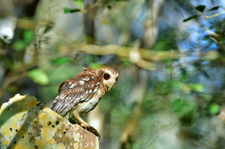 The Bare-legged Owl or Cuban Screech Owl (Gymnoglaux lawrencii). Zapata Peninsula Matanzas photo