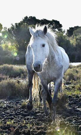 caballo de mar: Retrato de la Camargue Caballo Blanco. en bot�n counterlight