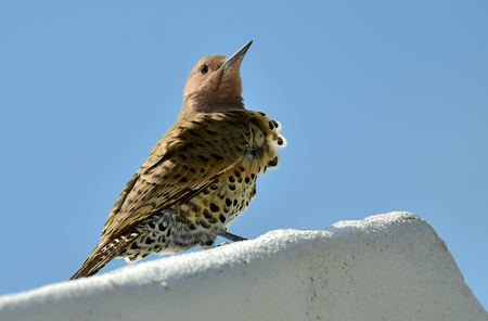 flicker: Northern Flicker (Colaptes auratus) perched on a roof against the blue sky. Cuba.  March Stock Photo