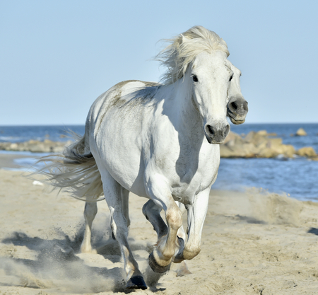 wild hair: Portrait of the Running White Camargue Horses in Parc Regional de Camargue Stock Photo
