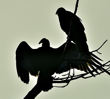 turkey vulture: Silhouettes of the Turkey Vulture (Cathartes aura) perched on a tree, against the sky