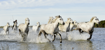caballo de mar: Jinetes y Caballos blancos de Camargue que corre a través del agua. Foto en blanco y Francia Negro
