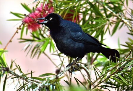 la boca: The Greater Antillean grackle (Quiscalus niger) perched on branch at La Boca, Republic of Cuba in March