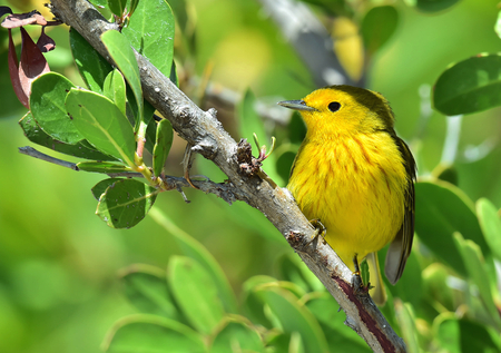 subspecies: Yellow Warbler Dendroica petechia gundlachi sits on a branch the covered green foliage. Dendroica petechia gundlachi subspecies of Yellow Warbler petechia group.