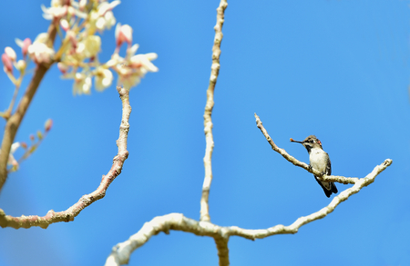 smallest: Cuban Bee Hummingbird (Mellisuga helenae) single adult male perched on branch, Zapata peninsula, Cuba, Caribbean.Bee hummingbirds are the smallest birds in the world. Stock Photo