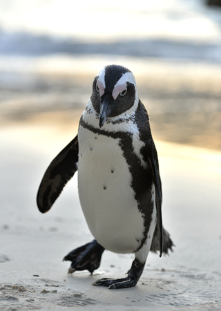 jackass: Portrait of African penguin (spheniscus demersus), also known as the jackass penguin and black-footed penguin is a species of penguin Boulders colony in Cape Town, South Africa.