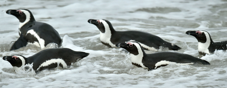 spheniscus demersus: Swimming penguins. The African penguin (Spheniscus demersus), also known as the jackass penguin and black-footed penguin is a species of penguin, confined to southern African waters.