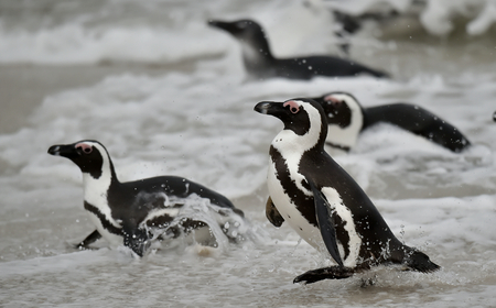 jackass: Swimming penguins. The African penguin (Spheniscus demersus), also known as the jackass penguin and black-footed penguin is a species of penguin, confined to southern African waters.