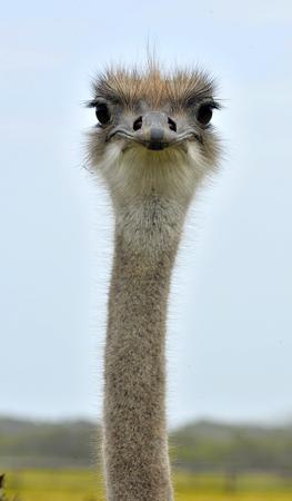 vogelspuren: Der Strau� oder Common Ostrich (Struthio camelus) ist entweder eine oder zwei Arten von gro�en flugunf�higen V�gel nach Afrika