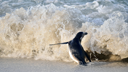 jackass: Portrait of African penguin spheniscus demersus, also known as the jackass penguin and black-footed penguin is a species of penguin Boulders colony in Cape Town, South Africa. Stock Photo