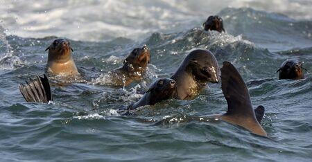 sellos: Focas nadan y saltando fuera del agua. Cabo de la piel Arctocephalus pusilus. Kalk Bay, Bahía Falsa, Sudáfrica