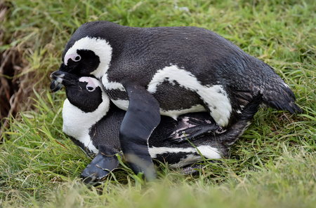 south african birds: Mating Jackass Penguins (Spheniscus demersus)  African penguin (spheniscus demersus), also known as the jackass penguin and black-footed penguin is a species of penguin Boulders colony in Cape Town,South Africa