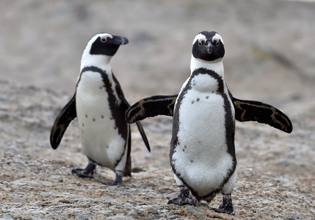 cape town: African penguins. African penguin (spheniscus demersus), also known as the jackass penguin and black-footed penguin is a species of penguin Boulders colony in Cape Town,South Africa